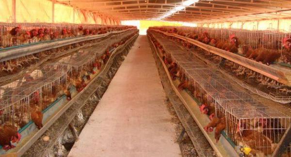 El mayor productor avícola del mundo eliminará sus gallinas en jaulas a  partir de 2020   Redmidia